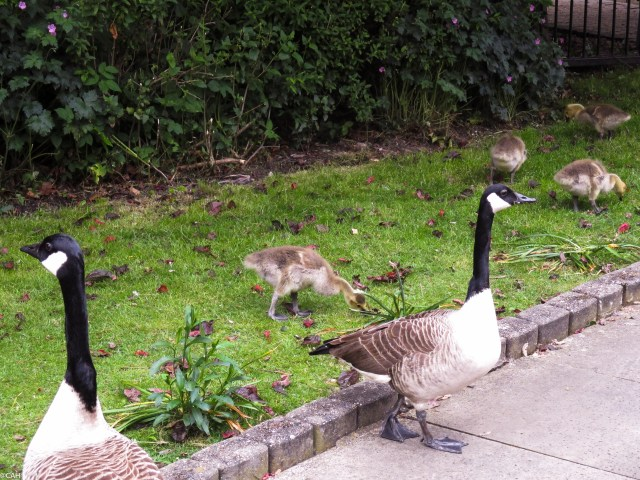Geese on canal  Manchester 25 May 2016-1