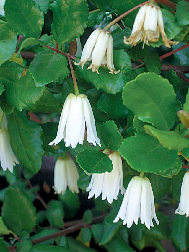 Zag1b.Crinodendronpa
