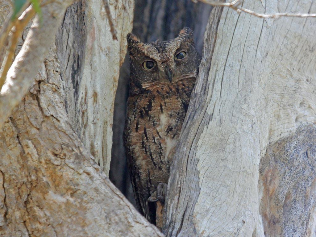 Birds Of The World Owls Strigidae