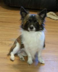 Corgi Papillon : corgi, papillon, Papillon/corgi, Carolina, Canine, Rescue