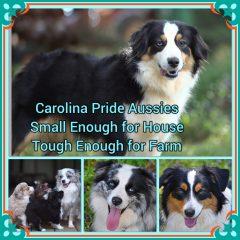 Carolina Pride Aussies
