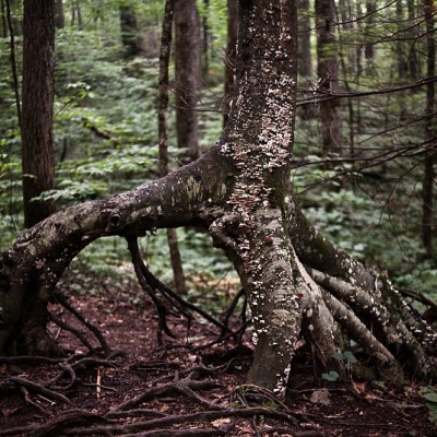 Unusual shapes and forms are typical in old-growth forests, such as the Joyce Kilmer-Slickrock Wilderness, in Graham County. Photo by Mike Belleme