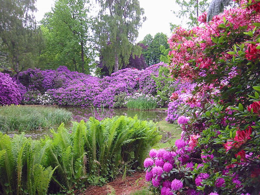 Rhododendron 10k