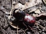 We called it a Rhinoceros Beetle