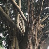 Richard's amazing Banyan tree