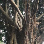 Richard's amazing Banyan tree