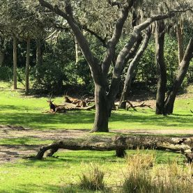 Antelopes!