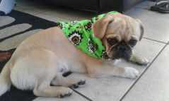 Peanut with his bandana in aid of cancer