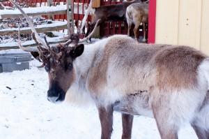 hi (rein)deer!
