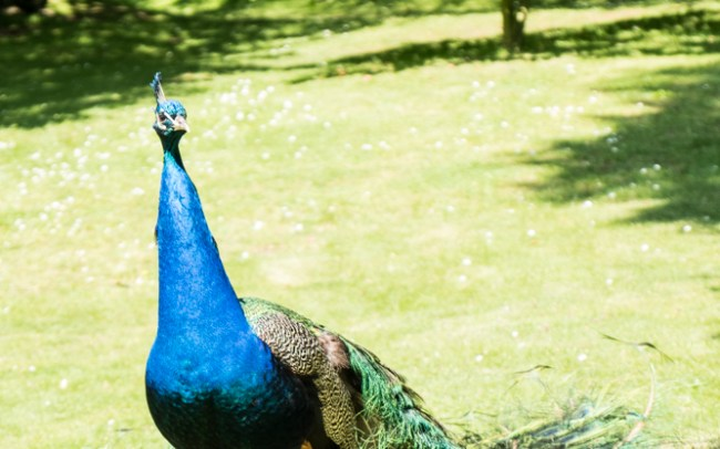 A peacock on a lawn in Holland Park