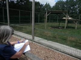 sketching wildlife, drawing white lions