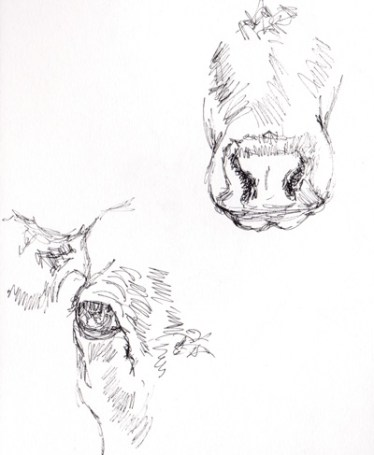 British White cattle, cattle sketches, cattle studies, Caroline Skinner Art