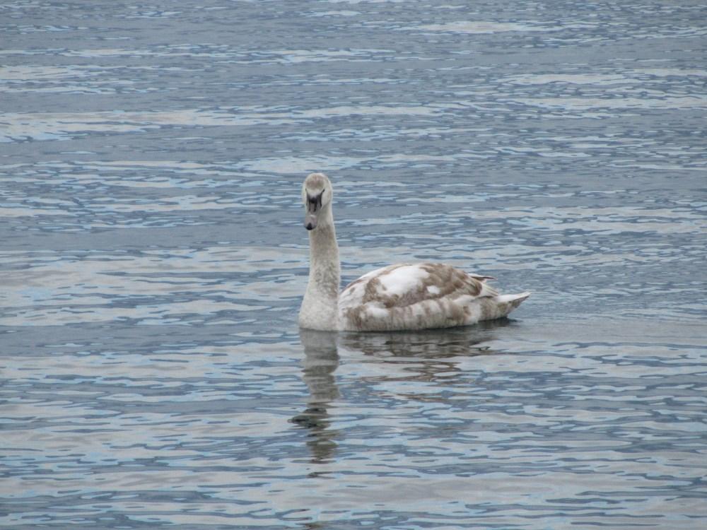 Recencement des oiseaux d'eau hivernants (4/6)
