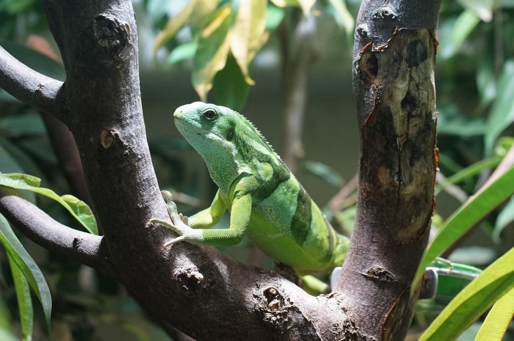 Banded Fiji iguana