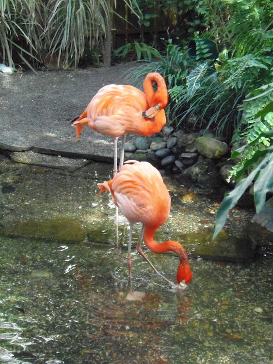 Orange flamingos, Rhett and Scarlett, in their pool at the Key West Butterfly and Nature Conservatory in Florida