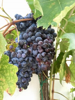 Grapes at a local winery and olive oil factory.