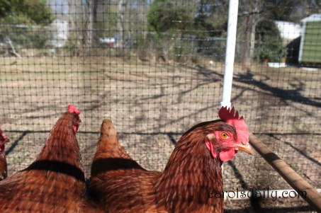 Rhode Island Red Hens