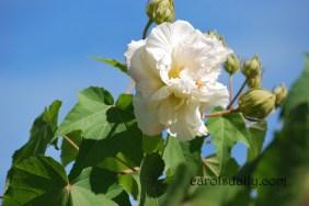 confederate-rose-white