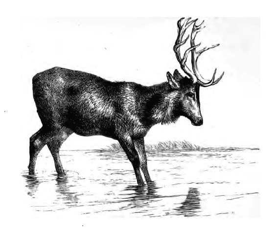 stag at the pool