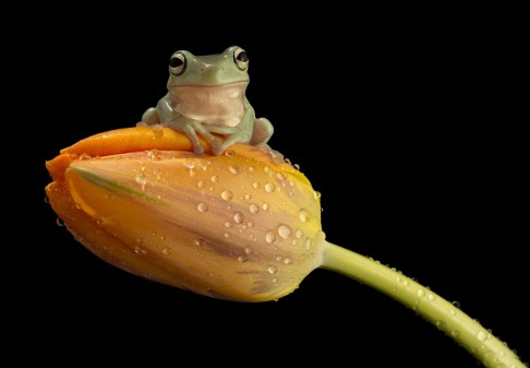 frog_on_tulip