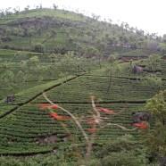 Hills of tea