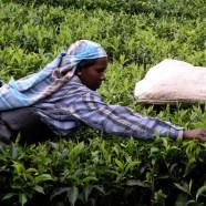 Hand-picked tea