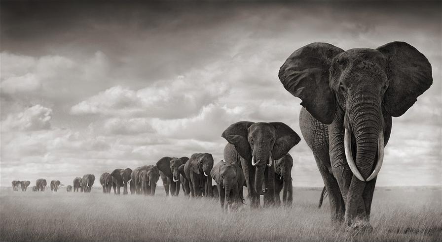 Elephants In Drastic Decline