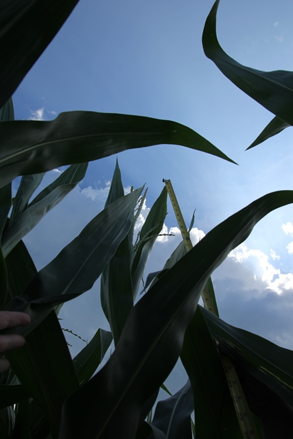 Fun Fact Friday – What's Going on in the Corn Field?