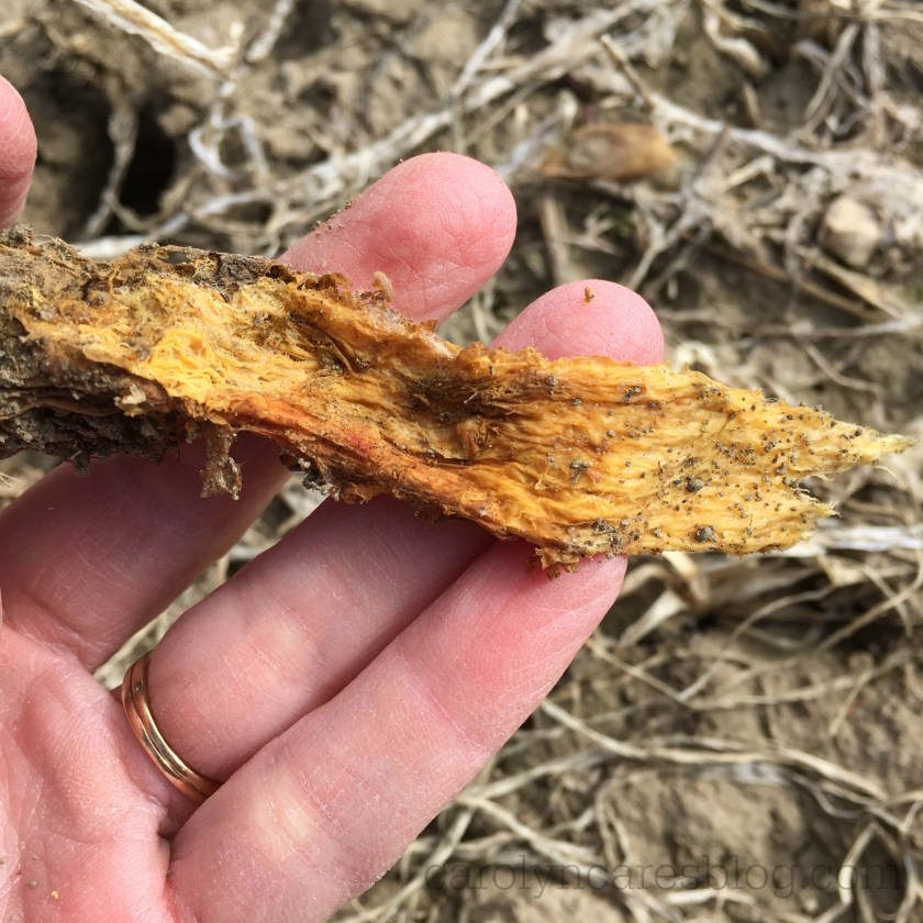 cover crop decaying root