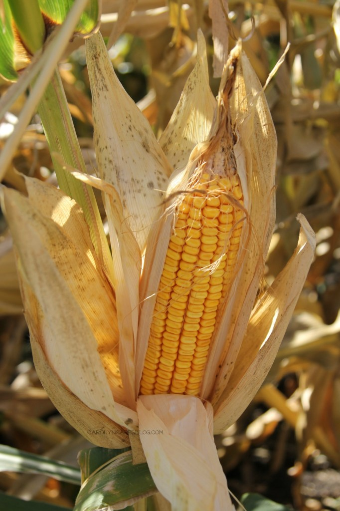 Mature Field Corn