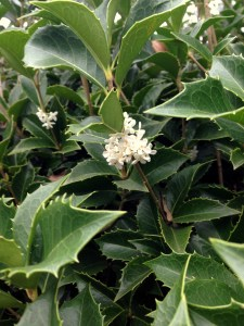 Holly flowers 2