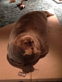 Bearded seal in Svalbard Museum