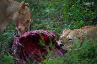Lions with Kill, Southern Serengeti 2014