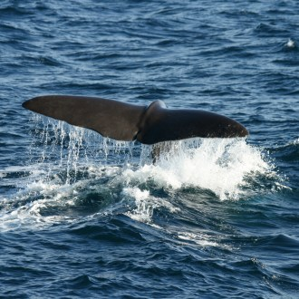 Sperm whale Norway 2007