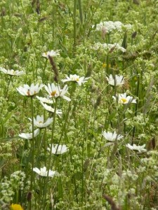 Hayfever: meadow on midsummer's day 24.06.16