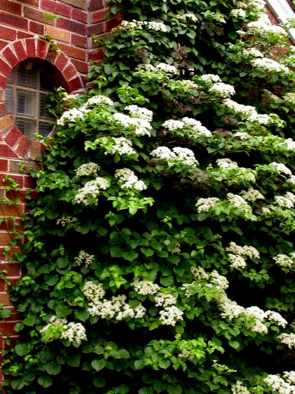 Woody Plants For Shade Part 4  Carolyn's Shade Gardens