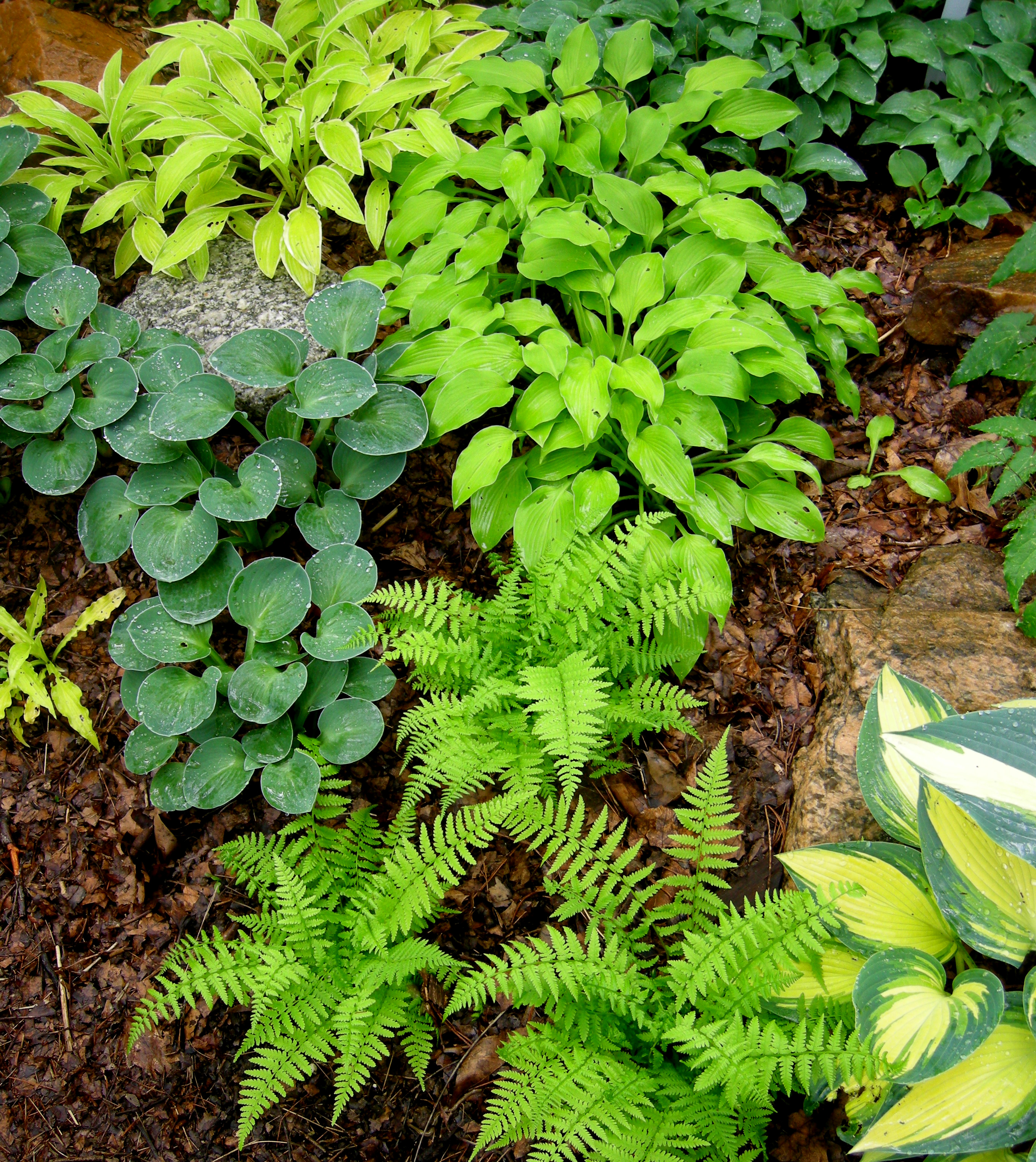 Hosta Containers And Companions CAROLYN'S SHADE GARDENS