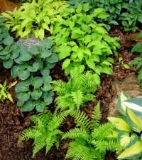 miniature lady fern   CAROLYN'S SHADE GARDENS