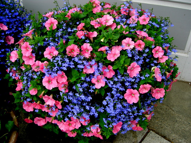 Container Planting Ideas From Camden Maine CAROLYN'S SHADE GARDENS