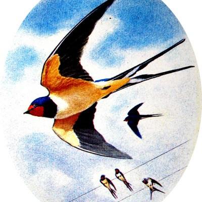 0371_vedett madarak_fusti fecske_hirundo rustica