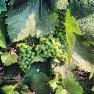 On the Piemonte Wine Trail: Chardonnay in July
