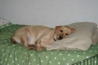 Making like Wyeth  Dog on Bed