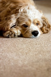 10 Tips for Keeping Carpets Clean with Pets - Leesburg VA ...