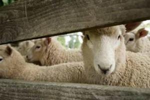 wool carpet sheep