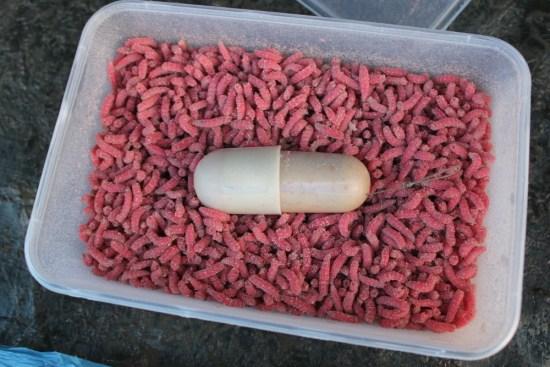 PVA capsule maggot presentation