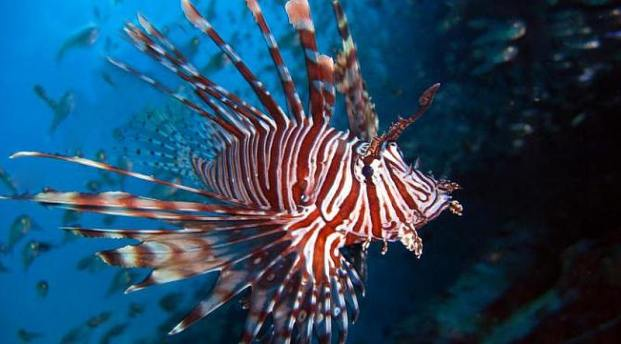 Lionfish are very pretty but the predator is very destructive.