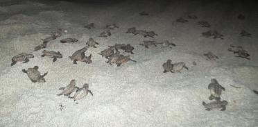Baby turtles running for the shoreline at night.