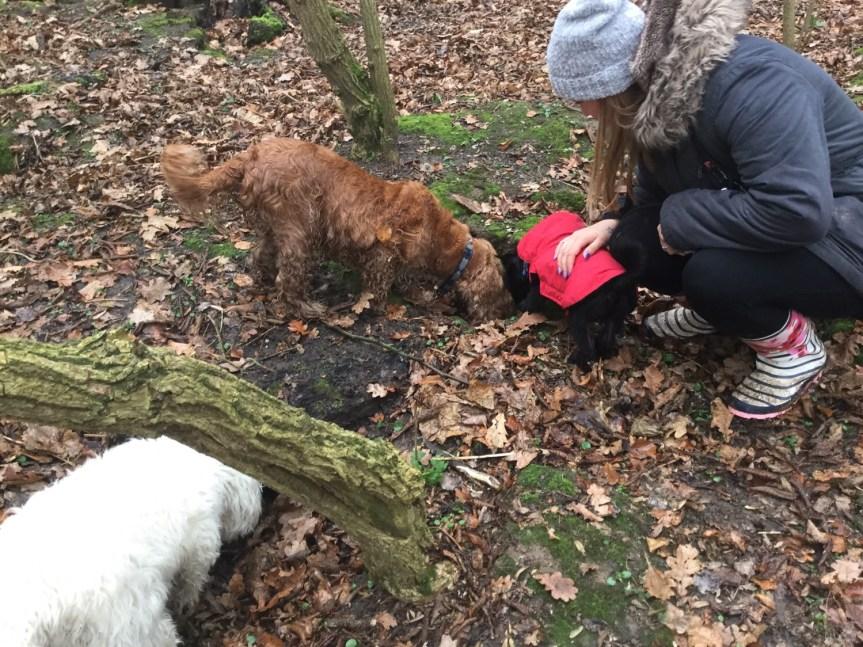 Puppy socialisation walks Huntingdon