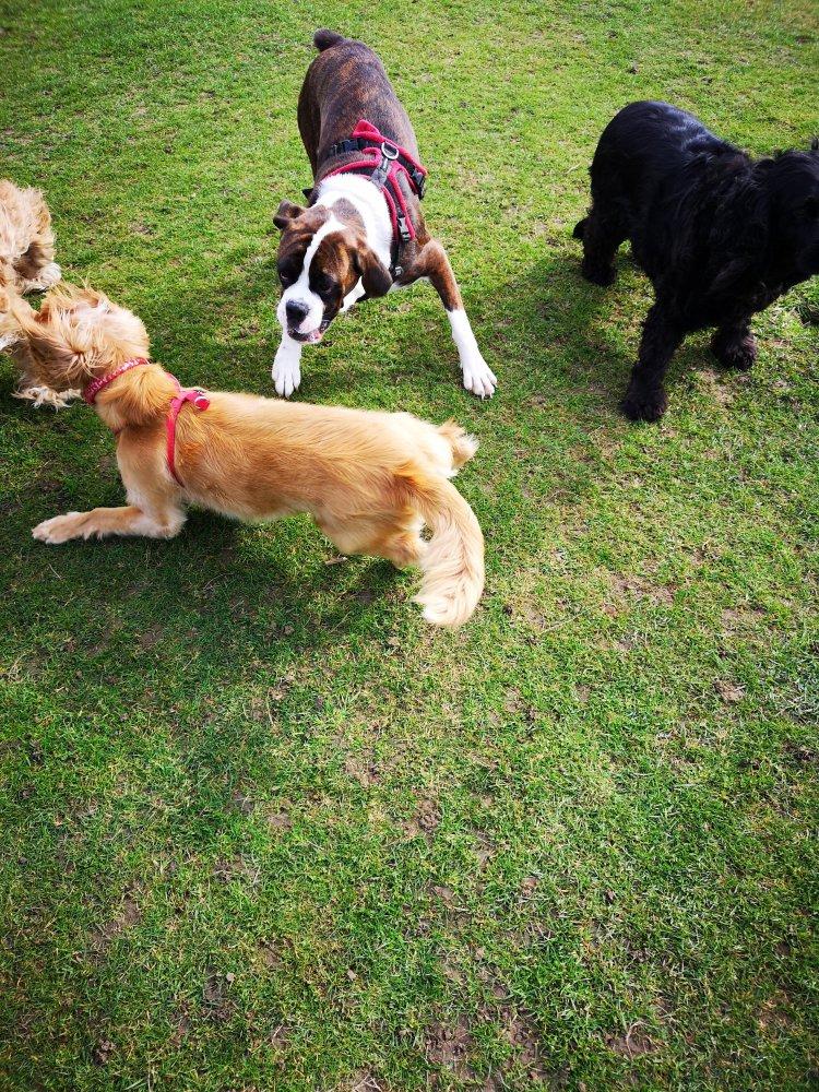 Dog socialisation walks Cambridgeshire