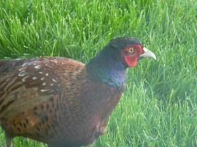 male common pheasant, Daviot Lodge, Inverness-shire